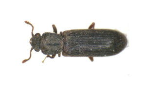 wood beetle